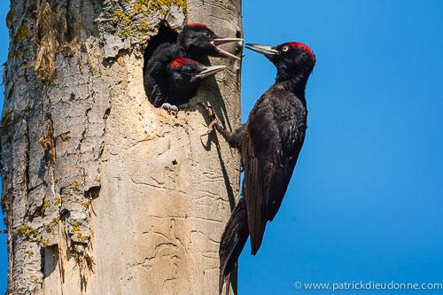 Black Woodpecker
