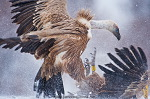 Griffon vultures, fighting