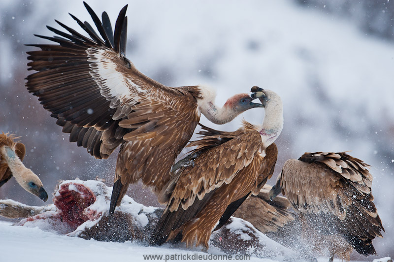 Vultures fight