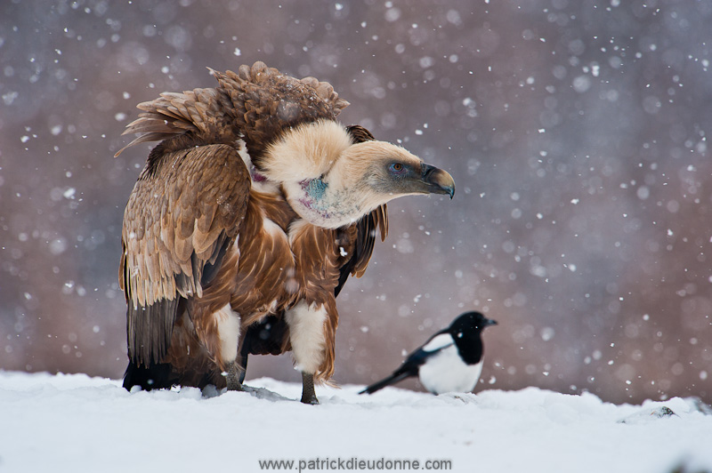 Vulture and magpie, snow fall