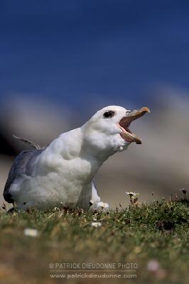 Fulmar boreal, Shetland