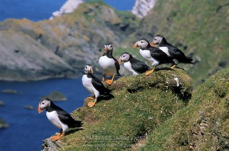 Macareux, Hermaness, Shetland