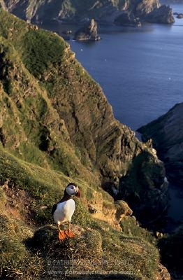 Macareux, Hemaness, Shetland