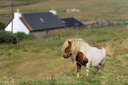 Poney Shetland Unst