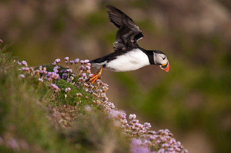 Macareux moine - Puffin
